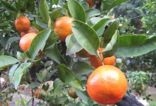 Sicilian blood oranges in Palermo