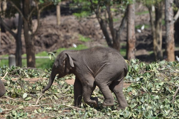 Baby Elephants Graze Pinnawela