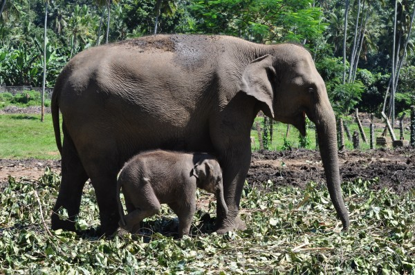 Mom and baby elephant graze pinnawela