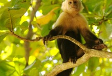 costa rica monkey from Luca5