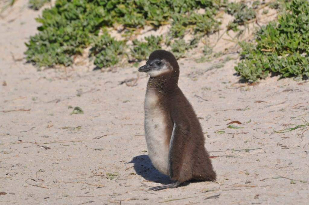 penguin chick in south africa