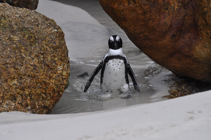 penguins in south africa on beach