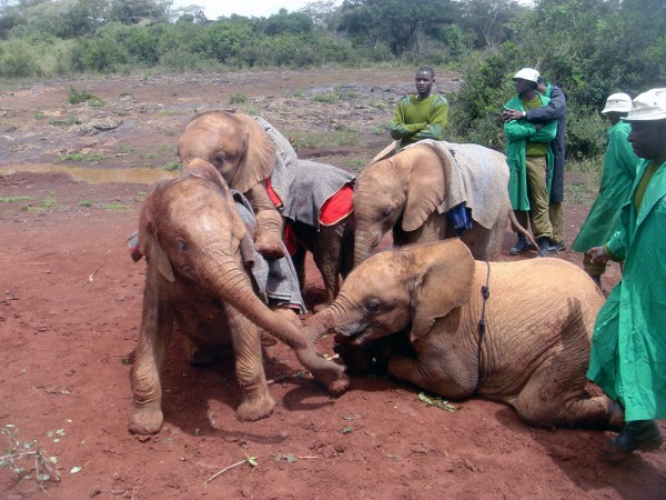 Young elephants playing together at the David Sheldrick Wildlife Trust in Nairobi, Kenya
