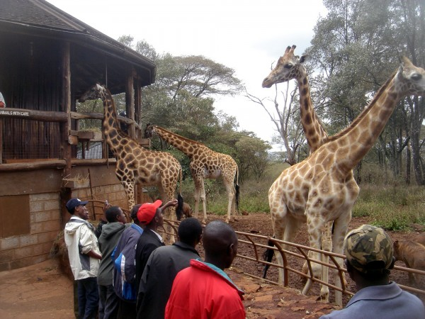 Giraffe circle the feeding platform at the Langata Giraffe Center in Nairobi Kenya