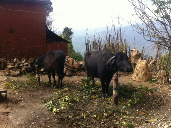 Nepalese cows enjoying not being rained on