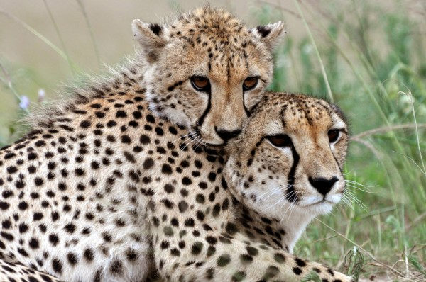 Mamma cheetah and cub spending quality time together is almost too cute.