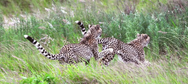 Cheetahs take chase faster then any other land-animal on earth.  They can also run away faster.