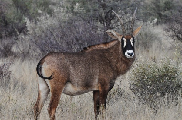 Sable Antelope not currently being chased by a helicopter