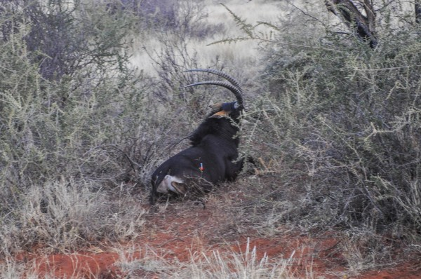 Darted Sable