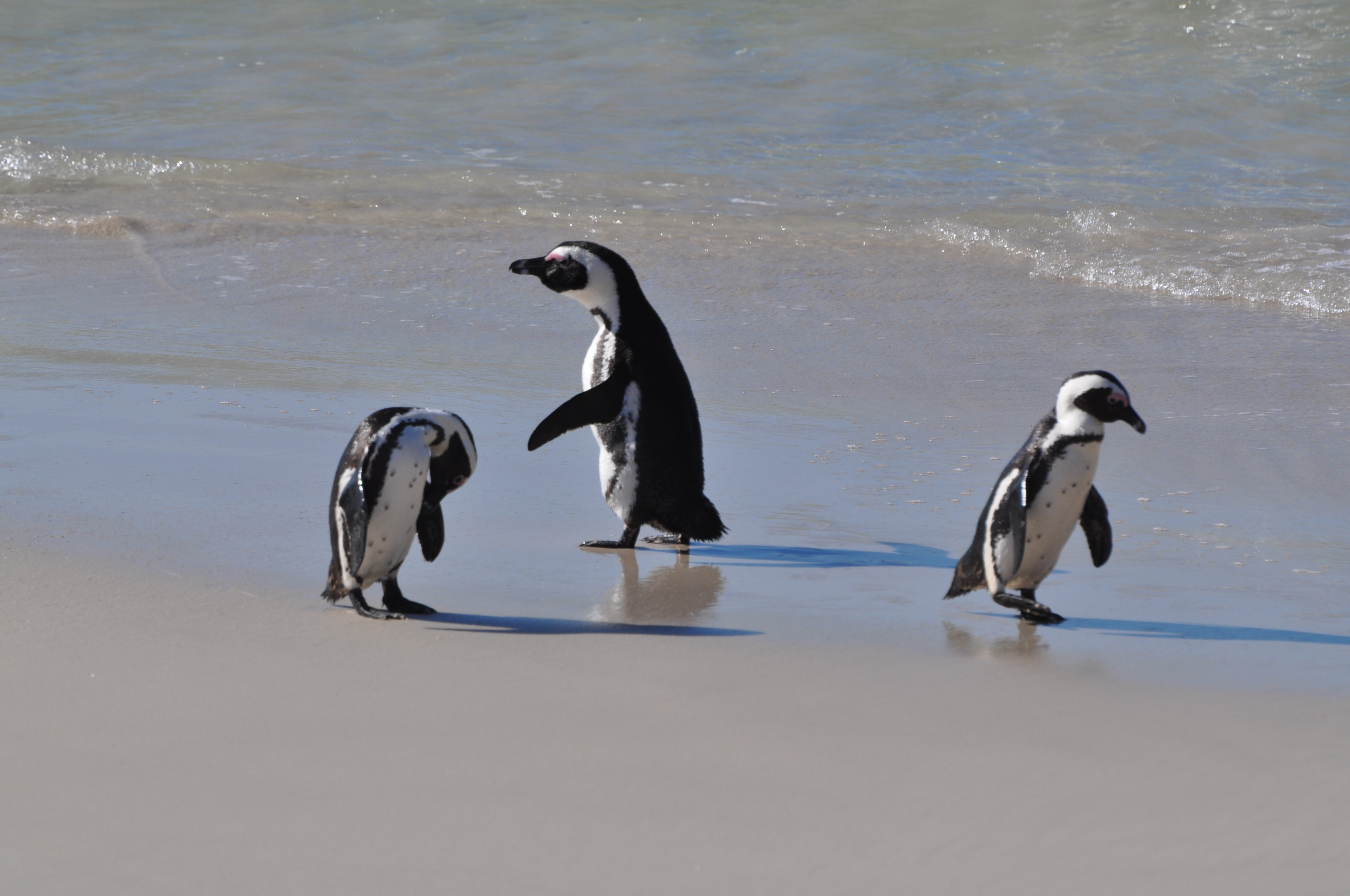 Penguins In South Africa Boulders Beach